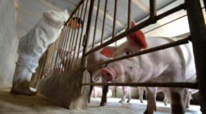 生猪价格旺季不旺,非洲猪瘟影响波及上市公司