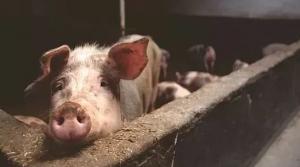 """邻居杀年猪,一男子发布视频称是处理""""非洲猪瘟"""""""
