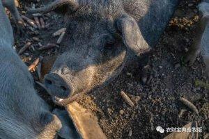 保护还是开放?4头东北民猪折射出的中国地方猪种开发困境!