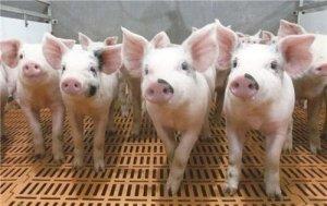 湖北襄阳正大已培育350家千头以上生猪养殖大户