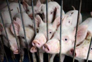 上海金山区散养生猪 养殖清退工作完成