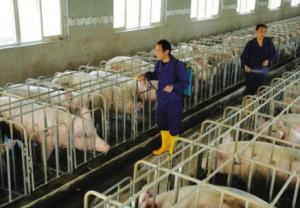 襄阳正大已培育350家千头以上生猪养殖大户