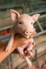 盲目缩短母猪产程不可取,找到诀窍解百忧