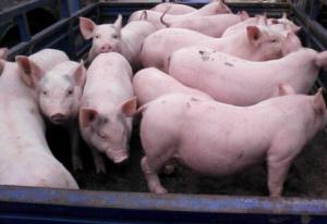 12月份生猪市场不可不