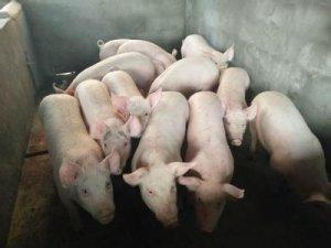 福建泉州:规模猪场全面实行建档立卡管理