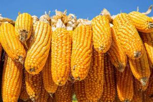 """玉米价格不涨反跌的""""凶手""""找到了"""