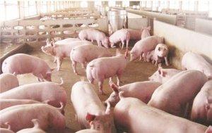 农业农村部:非洲猪瘟疫情总体可控,生猪