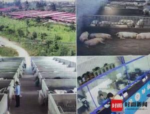 四川成都这起非法屠宰生猪案8人获刑,究竟是什么情况?