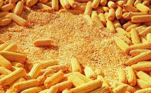 元旦过后第一天 华北东北玉米收购价格下跌