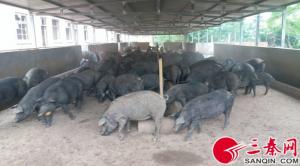 陕西铜川:千头以上生猪养殖场,最高可补贴40万元
