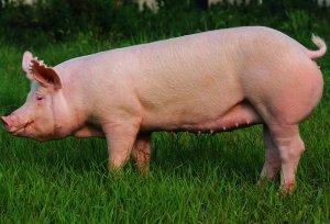 各个阶段的猪,如何利用光照降本增效?光照的重要性!