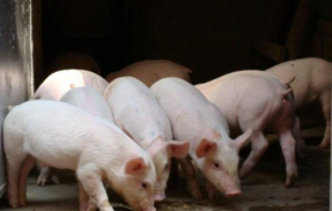 2019年4月前,猪价真的将开启上涨模式了吗?看看内行人怎么说