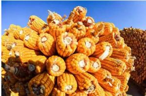 权威发布:今年或将是玉米生产由降转增的转折年!