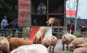 猪价大涨的转折点!