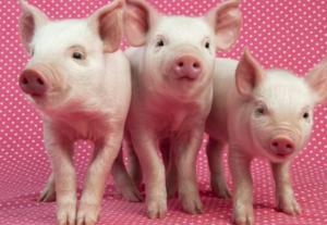 猪价5连涨,多地回归成本线,可养殖户却高兴不起来,为什么?