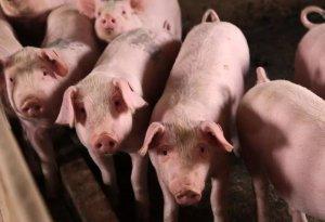 生猪市场观察:未来生猪价位走高将是大概率事件
