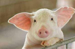 2019年猪价会涨!成本也会大降!