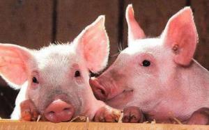 在中国,非洲猪瘟主要通过哪几种途径传播?