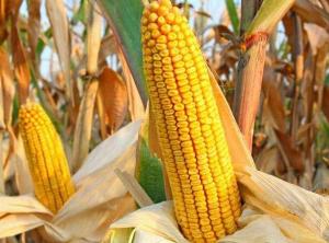 """2019年玉米的""""前景""""如何?"""