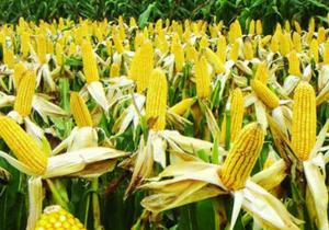 2018年中国玉米市场分析