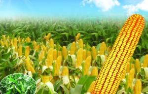 一周玉米丨 节后贸易购销逐渐恢复,玉米现货价格平稳运行