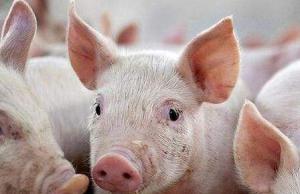3-5月河南生猪市场预判!猪病形势?