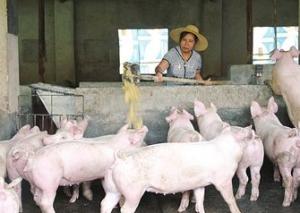 价格指数保险护航,生猪养殖户获赔196万