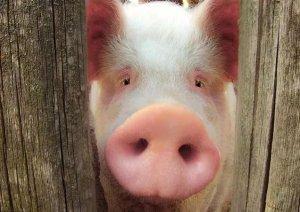 【猪病】猪轮状病毒病高发季,养猪户记好防治措施