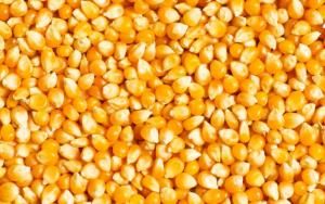 2019年玉米价格涨?