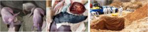 理性对待非洲猪瘟及温病中兽医辨证施制