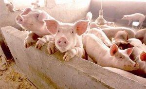 两广母猪存栏下降60%,年末猪价最高或许可达15元