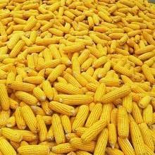 玉米豆粕高位回调,6月能否继续涨价?