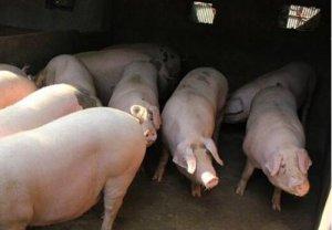 生猪供应缺口总体呈持续扩大态势