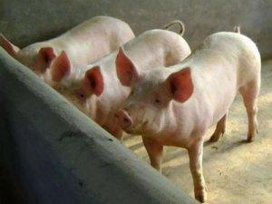 风头正劲!生猪养殖业规模化与集中度提升将是确定性趋势?