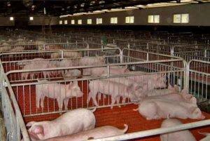 北方猪价持续调整南方开始缓步增长