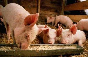 鞍山市猪肉价格淡季半月涨三成 养殖户惜售助长猪价攀高