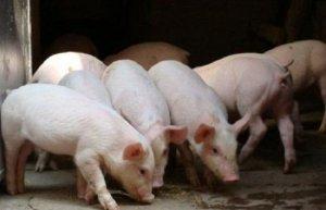 哈尔滨:7月猪肉价格创历史猪价以来的新高度!
