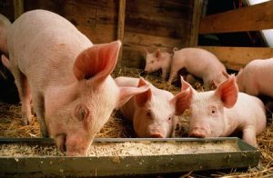 疫情影响生猪供应全面紧缺,多数省份猪价达9元以上