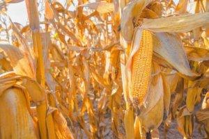 玉米市场维持清淡,需求恢复道阻且长