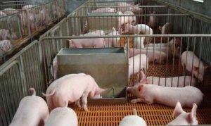本年度第三波猪价上涨趋势即将迎来震荡期?
