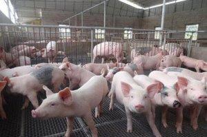 吉林省6月份生猪收购价格显著上涨