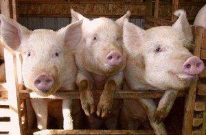 涨势凶猛!两广猪价突破13元/斤,生猪产能下滑了多少?农业农村部回应了