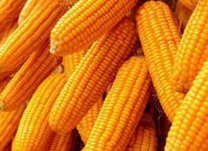 缺乏炒作因素影响,玉米市场进入僵局