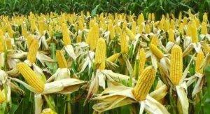 春玉米陆续上市 市场区域性行情显现