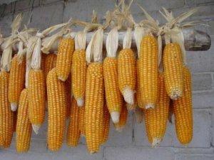 东北玉米进入定产关键期,关注农业气象变化