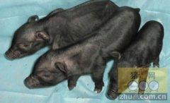 """首例""""带有抗猪瘟病毒基因的克隆猪""""在吉林诞生"""