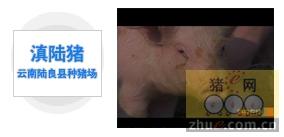 滇陆猪―云南陆良县种猪场