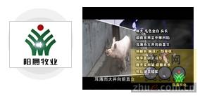 阳晨牧业优质种猪