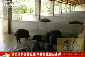 猪肉价格开始反弹 中秋前或回归高位