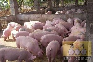[周]夏季生猪饲养管理要点